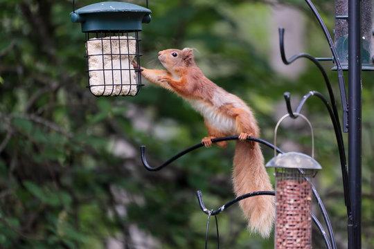 Eurasian Red Squirrel (sciurus vulgaris)_02