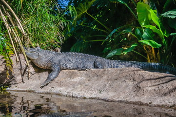 American alligator in Loro Parque, Tenerife, Canary Islands.