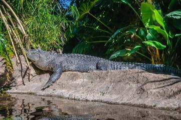 American alligator in Loro Parque, Tenerife, Canary Islands.