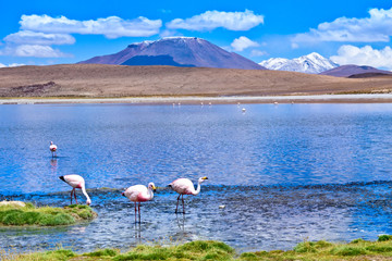 laguna Hedionda  with pink flamingo  Bolivia