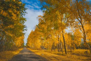 Road in a autumn birch grove