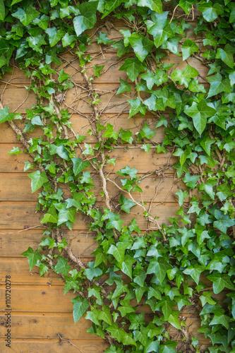 Efeu auf Holzwand