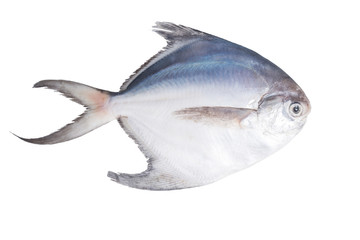 fresh pomfret isolated on a white background