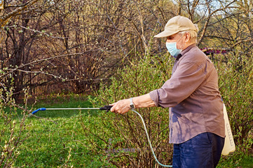 Pensioner wearing a protective mask is processing plants with insecticides in his garden
