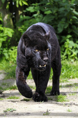 Foto auf Leinwand Panther Black Jaguar - walking towards viewer