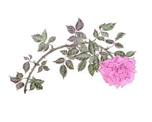 Rose vintage on white. Illustration for card, invitation.