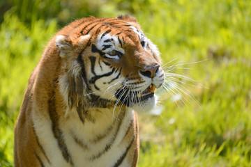 Portrait of tiger (Panthera tigris)