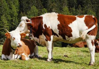 Cows on pasture near Misurina lake , Italy, September 2015.