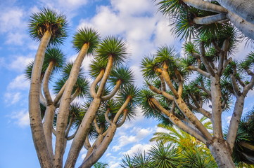 Dragon trees, Dracaena in the mountains of Canary Islands, Spain