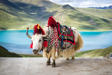 Decorated white tibetan yak at the Yamdrok lake in Tibet, China