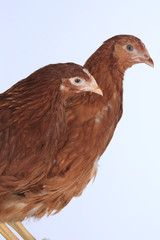 pair of chickens