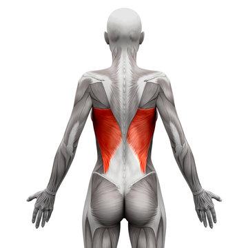 Latissimus Dorsi - Anatomy Muscles isolated on white