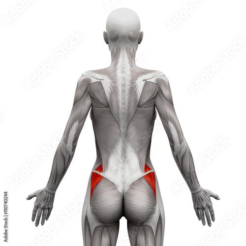 Gluteus Medius - Anatomy Muscles isolated on white\