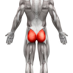 Gluteal Muscles / Gluteus Maximus - Anatomy Muscles isolated