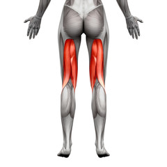 Hamstrings Muscles - Anatomy Muscle isolated on white