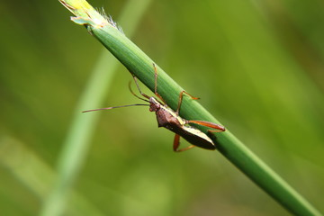 Macro photography showing a marmorated stink bug or Halyomorpha halys