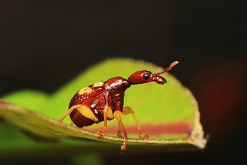 Macro photography showing Red Giraffe Weevil or Leaf Rolling Weevil