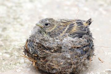 cute  baby bird .  house sparrow