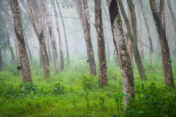 Atural rubber trees