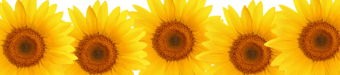 header web  panorama sunflower flower full length