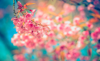 Pink sakura or cherry blossom tree with blue sky,background blur bokeh full vivid color.