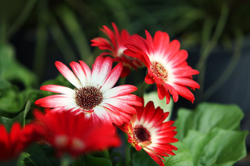 red-white gerbera flower.