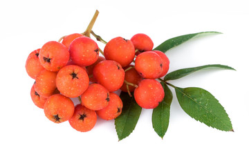 Rowan berry (Sorbus aucuparia). Closeup.