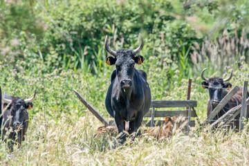 vache camarguaise en pâture
