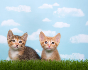 Two kittens in tall grass with blue sky background white fluffy clouds