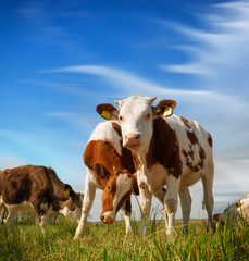 Wall Murals Cow Calves on the field
