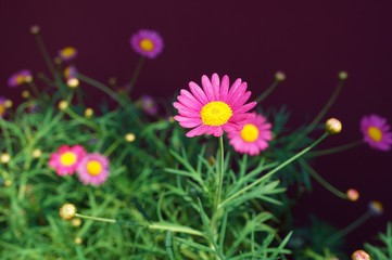 Pink painted daisy flowers (Pyrethrum Daisy)