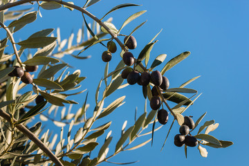 black olives on tree with copy space