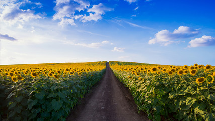 Pathway In Sunflower field