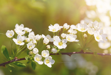 Tree branch with white flowers