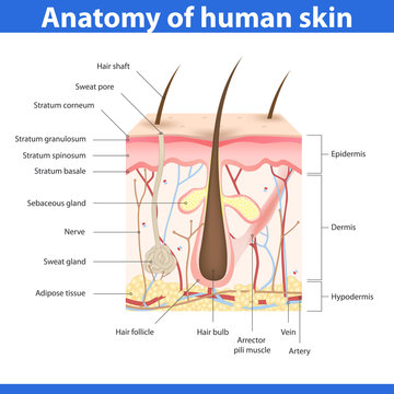 Structure of human skin, vector illustration