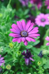 purple chrysanthemum flowers in the garden