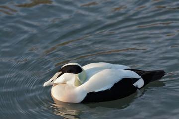 European Eider Duck somateria mollissima mollissima