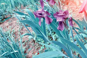 Spring landscape. Blue beautiful garden flowers irises