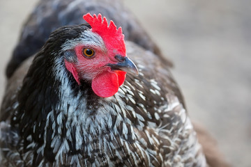 Hen on the farm, a portrait