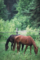 Two beautiful horses grazing in the park
