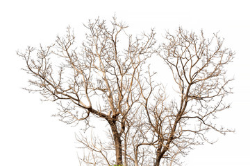 dry tree isolated on white background