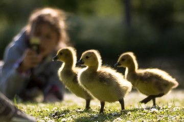 Canada goose (Branta canadensis) goslings being photographed. Three young chicks in foreground with child using phone to take photo, highlighted by evening sun