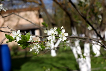 White flowers of the plum blossoms on a spring day in the park o
