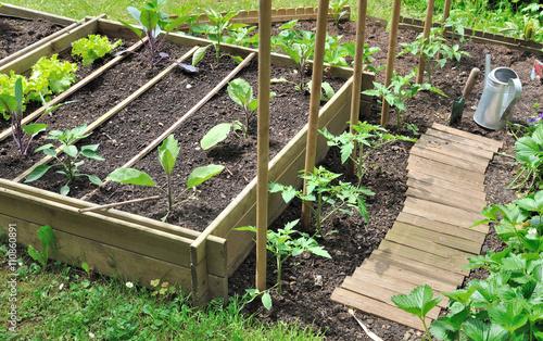 Jeunes plants de l gumes dans potager avec bac en bois - Bac a legume en bois ...