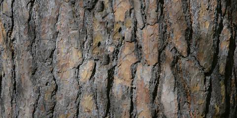 The texture of tree bark . Pine closeup .