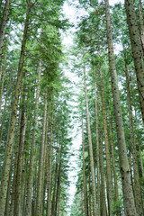 Wall Murals Road in forest Footpath in the coniferous wood