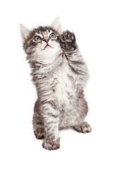 Cute kitten with high five paw
