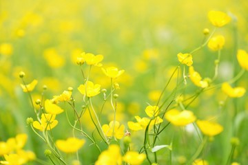 Blurry photo effect. Defocused yellow flowers and grass.