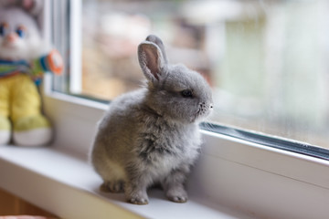 Little grey bunny rabbit sits on the window