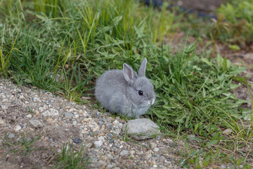 Little grey bunny rabbit eating grass in the garden